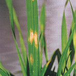 Zinc deficiency in wheat