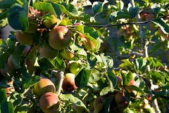 branch, plant, produce, fruit, food, apple,