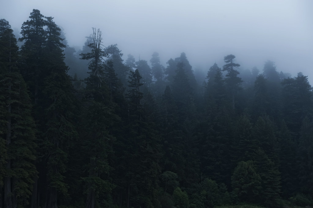 Redwoods in blue hour fog