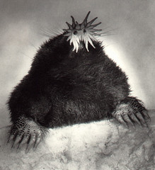 star-nosed-mole-6