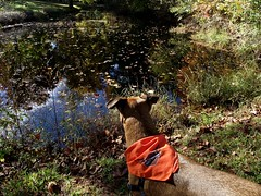 Chop looking for frogs