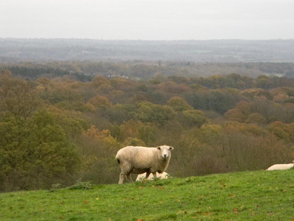 Autumn sheep Edenbridge Town to Westerham