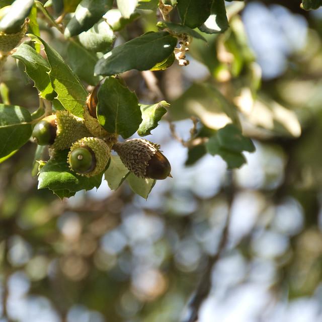 Cork oak acorns   Flickr - Photo Sharing!