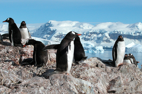 Gentoo Penguins  by Barry Griffiths CAD