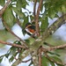 Small photo of American Pygmy Kingfisher (Chloroceryle aenea)