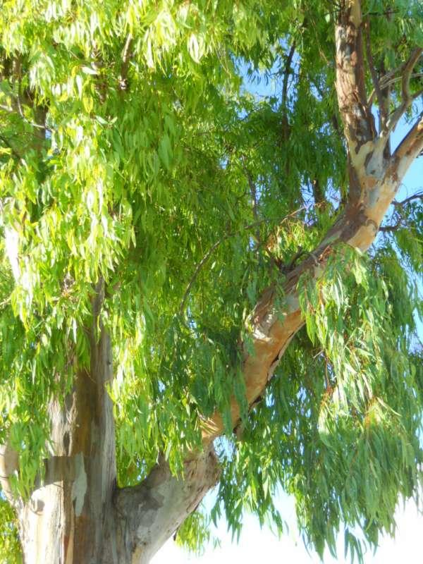 Eucalyptus camaldulensis v 4