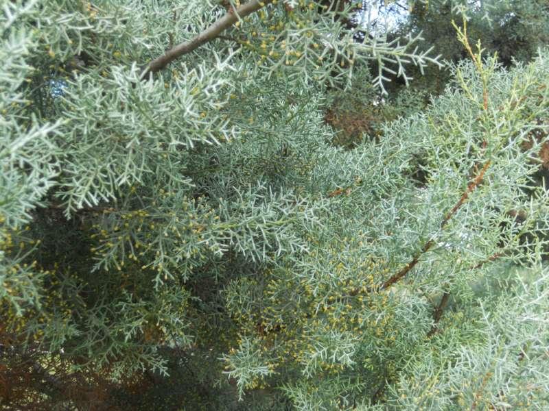 Cupressus glabra 5