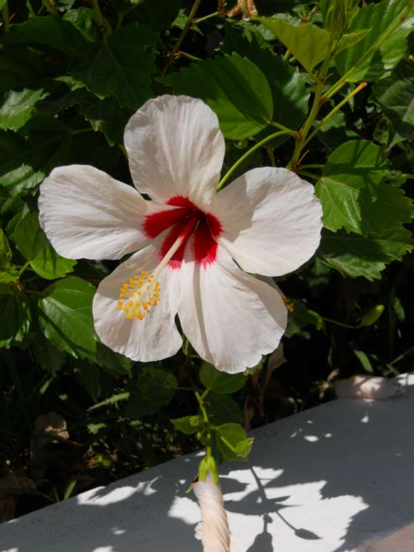 Hibiscus rosa sinensis 'Casablanca' v 1