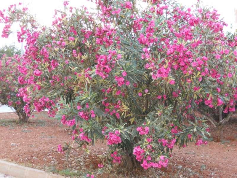 Nerium oleander 'Splendens Giganteum Variegatum' 4