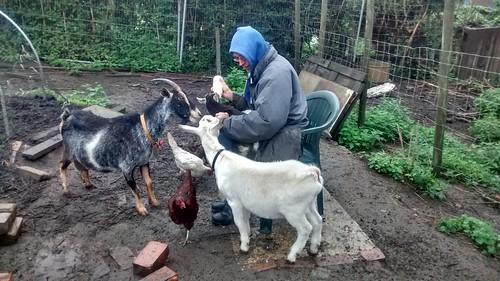 feeding the baby goat June 17 1