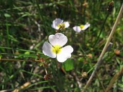 Baldellia ranunculoides ssp. ranunculoides