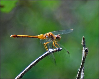 Flickr Dragonfly