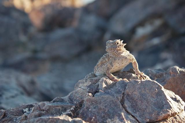 Lagarto cornudo en el Parque Nacional del Valle de la Muerte, California