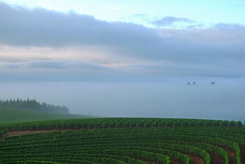morning sky fog oregon sunrise landscape vineyard dundee grapes grapevines willamettevalley