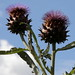 Artichoke Thistle - Photo (c) Amanda Slater, some rights reserved (CC BY-SA)