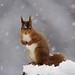 Squirrel in the snow by sheilapic76