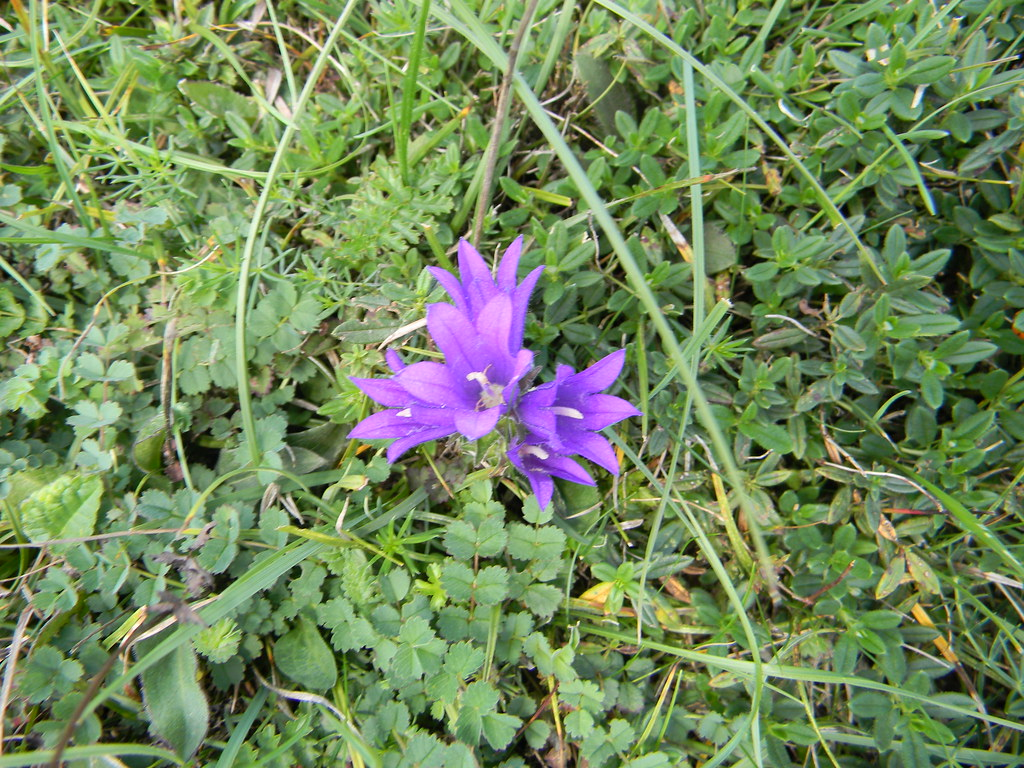 Clustered Bellflower Winchester Circular