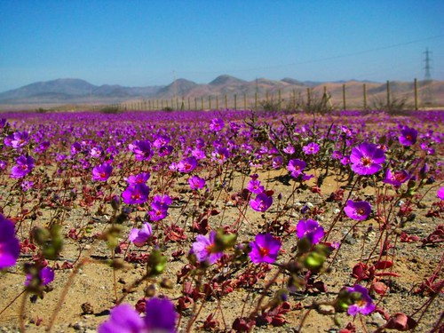 Wildflowers occasionally bloom in Chile's deserts.