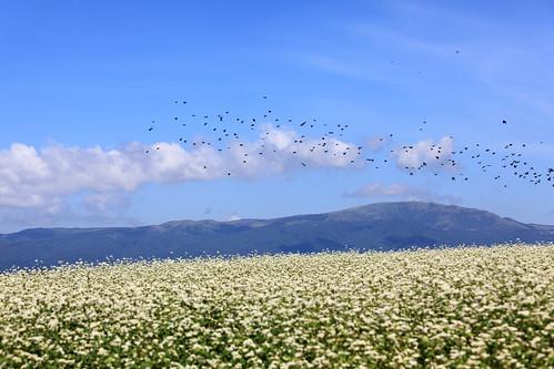 Buckwheat Flowers / 蕎麦畑(そばばたけ)