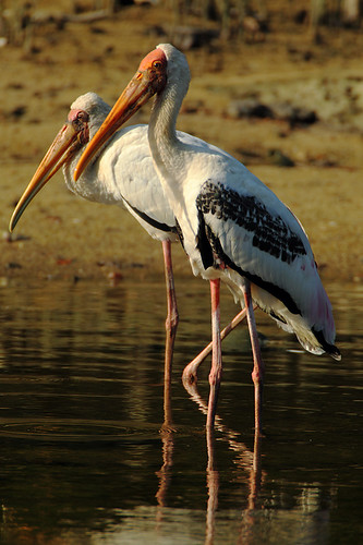 Painted and Milky Stork