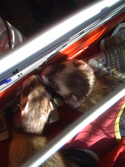 animal(1.0), weasel(1.0), pet(1.0), mammal(1.0), whiskers(1.0), ferret(1.0),