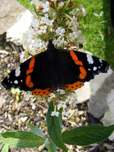 Hawes butterfly