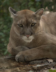 cougar, animal, mammal, fauna, cat-like mammal, puma, whiskers, wildlife,