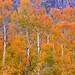 Orange Aspens, all in a row--Bishop Canyon