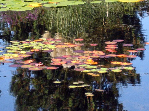 Lily pads and reflections