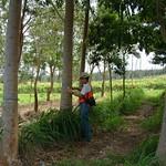 Cedrela odorata plantation