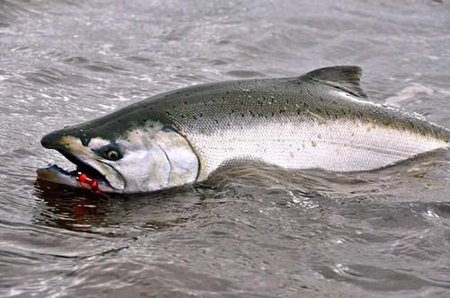 Morejohn mojo fly fishing for chinook salmon the caddis for Oregon salmon fishing