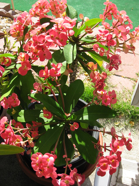 A crown of thorns plant euphorbia flickr photo sharing for Crown of thorns plant