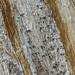 Mycocalicium subtile by wanderflechten