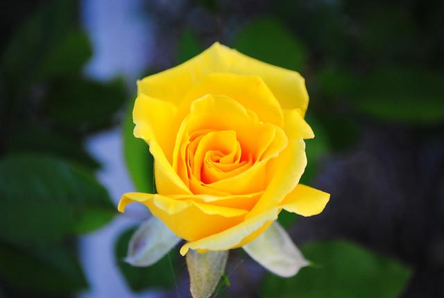 English rose garden wallpaper - Single Yellow Rose Tx Flickr Photo Sharing