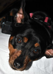 dog breed, animal, dog, german pinscher, manchester terrier, pet, mammal, miniature pinscher, pinscher, black,