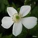 Canadian anemone - Anémone du Canada by monteregina