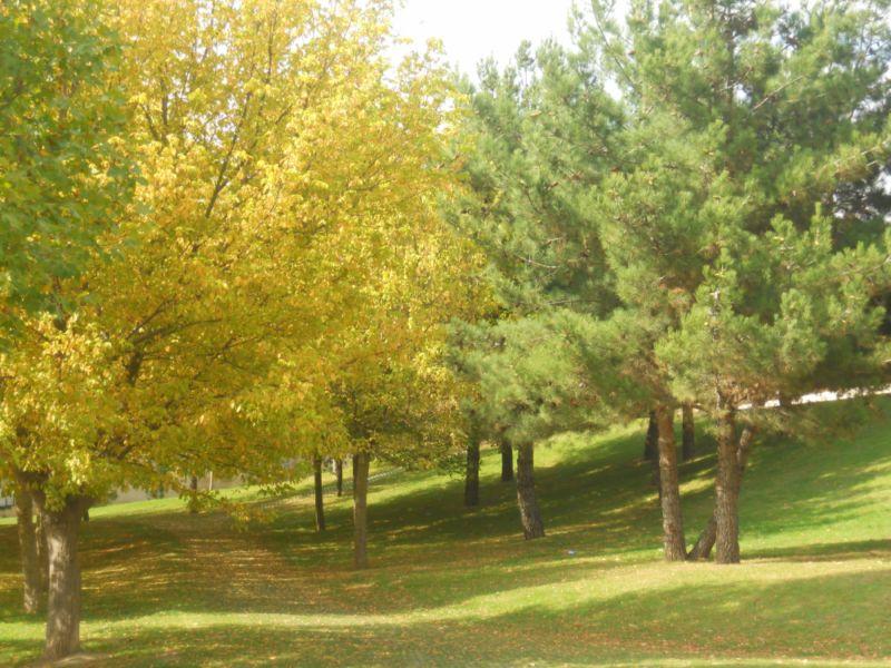 Arce negundo en otoño 1