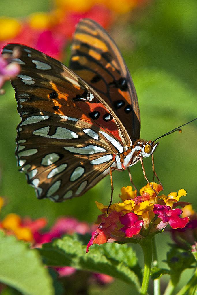 Fritillary Butterfly - Fairview Riverside State Park