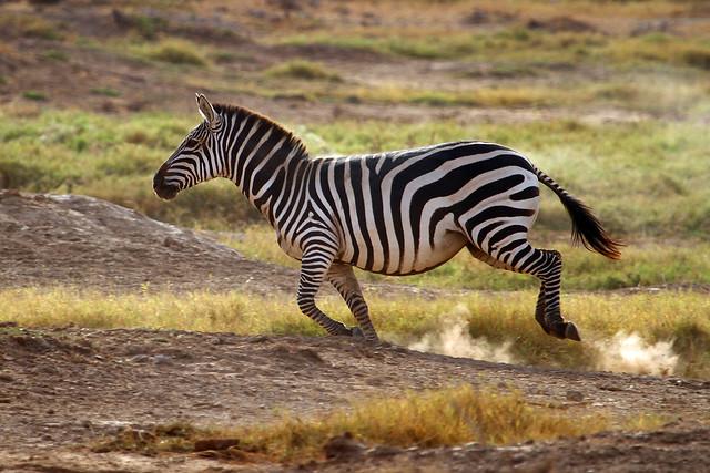 zebra running - photo #18