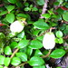 Creeping Snowberry - Photo (c) Superior National Forest, some rights reserved (CC BY)