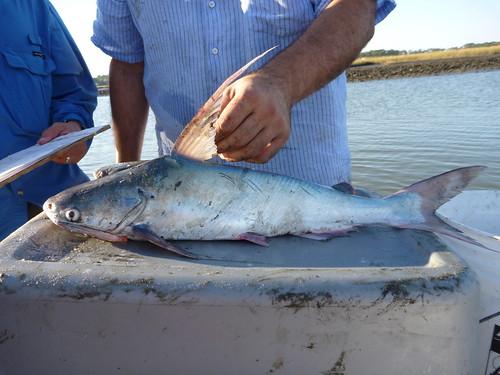 Sail Catfish