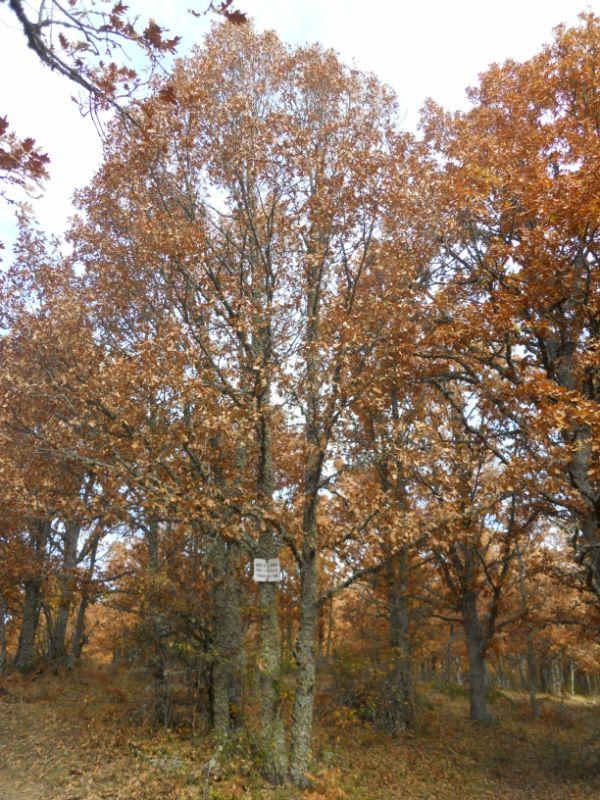 Roble árbol caducifolio