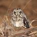 Brandugla Asio flammeus Short-eared Owl