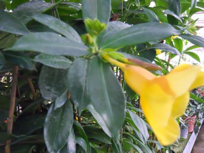 Jardineros en acci n allamanda spp for Planta decorativa toxica