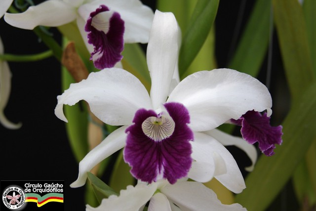 Laelia purpurata roxo-violeta - Zacarias Sulepa