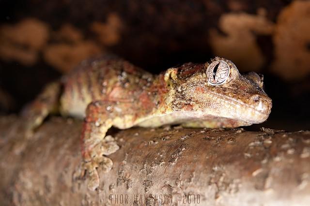 Rhacodactylus chahoua