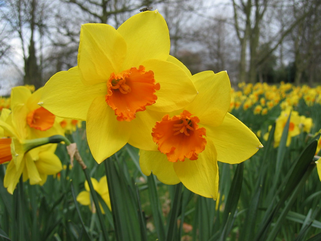 Yellow & orange dafs.