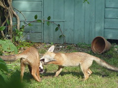 grey fox(0.0), red fox(0.0), wolfdog(0.0), animal(1.0), mammal(1.0), fauna(1.0), fox(1.0), kit fox(1.0), wildlife(1.0),