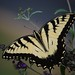 Tiger Swallowtail Butterfly by Roger Goodson