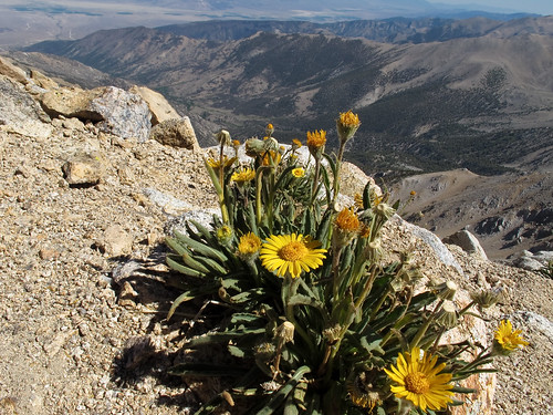 flowers plant yellow canon landscape scenery view nevada whitemountains arid sierraclub greatbasin g11 boundarypeak intermountainwest westernunitedstates desertpeakssection highestmountaininnevada highestpointinnevada